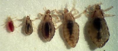 lice-various-stages-development_0.jpg